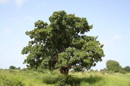 kariye shea ağacı